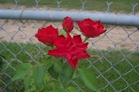 red rose fence