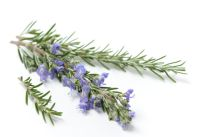 Isolated sprigs of fresh Rosemary, one with flowers. Shallow depth of field.